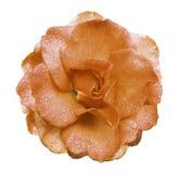 Цветок розы апельсина на белой предпосылке с путем клиппирования отсутствие теней Поднял с падениями воды на лепестках Closeu Стоковая Фотография
