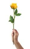 Цветок розы желтого цвета в людях руки изолированных на белизне Стоковые Изображения RF