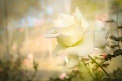 Цветок розы желтого цвета с мягким фокусом для влюбленности романтичной Стоковое Фото