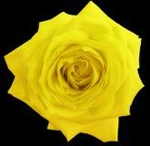Цветок розы желтого цвета, чернит изолированную предпосылку с путем клиппирования closeup Стоковые Изображения RF