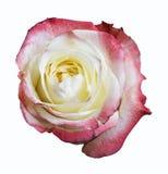 Цветок розы изолированной на белизне Стоковое фото RF