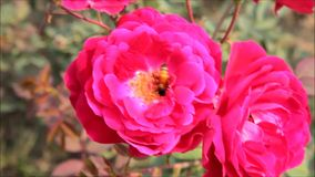 Цветок Розы пинка и пчела меда сток-видео