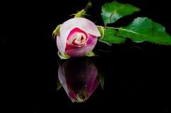 Цветок розы пинка на отражении Стоковое Изображение