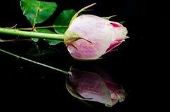 Цветок розы пинка на отражении Стоковая Фотография RF