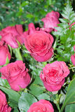 Цветок Розы пинка для валентинки, партии, годовщины Стоковые Фото