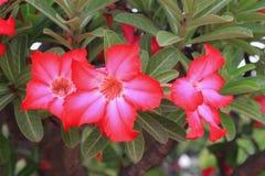 Цветок розы пустыни тропический на adenium лилии дерева или импалы красивом розовом Стоковое Изображение