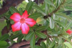 Цветок розы пустыни тропический на adenium лилии дерева или импалы красивом розовом Стоковая Фотография RF