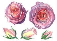 Цветок розы Стоковое Фото