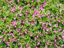 Цветок сада, поле цветка маргаритки Стоковые Фотографии RF