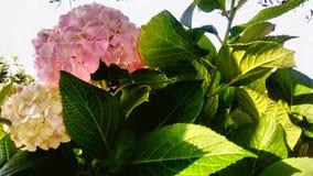 Цветок сада Hortensia стоковое изображение