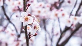 Цветок Сакуры вишневого цвета весны Стоковая Фотография RF