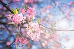 Цветок Сакуры в Дании стоковые фото