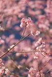 Цветок Сакуры в Таиланде Стоковая Фотография RF