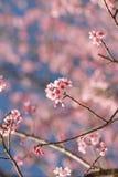 Цветок Сакуры в Таиланде Стоковое фото RF