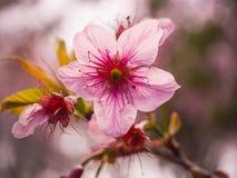 Цветок Сакуры крупного плана розовый в Таиланде, одичалой гималайской вишне Стоковая Фотография