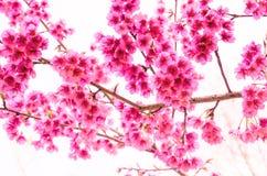 Цветок Сакуры на белой предпосылке Стоковая Фотография