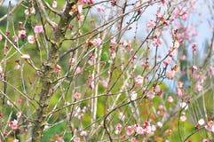 Цветок Сакуры Стоковая Фотография RF