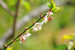 Цветок Сакуры Стоковая Фотография
