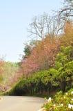 Цветок Сакуры Стоковые Фото