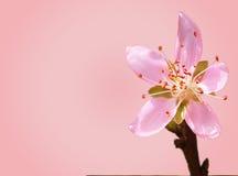 Цветок Сакуры Стоковое Изображение