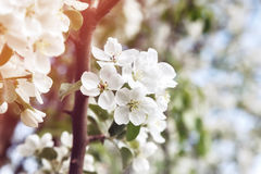 Цветок Сакуры стоковое фото rf