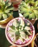 Цветок самоцвета Стоковое Фото