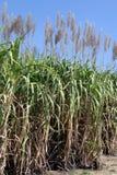 Цветок сахарного тростника, плантация сахарного тростника, заводы сахарного тростника растет в поле, ферме дерева сахарного трост Стоковые Изображения RF
