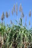 Цветок сахарного тростника, плантация сахарного тростника, заводы сахарного тростника растет в поле, ферме дерева сахарного трост Стоковое Изображение
