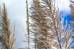 Цветок сахарного тростника Стоковые Фотографии RF