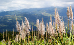 Цветок сахарного тростника Стоковые Изображения RF