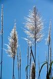 Цветок сахарного тростника Стоковое фото RF