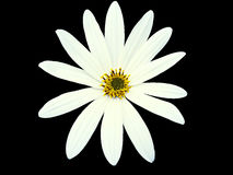 Цветок сада белый, чернит изолированную предпосылку с путем клиппирования closeup Стоковые Изображения