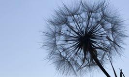 Цветок силуэта одуванчика пушистый на голубом небе захода солнца Стоковые Фотографии RF