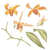 Цветок Сингапура, иллюстрация цветков Saleha Национальный цветок Сингапура Орхидея акварели нарисованная рукой оранжевая Стоковая Фотография