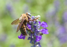 цветок сини пчелы Стоковая Фотография