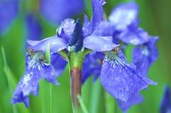 цветок сини цветеня Стоковые Изображения RF