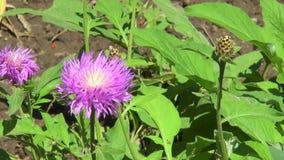 Цветок сирени на ветви с зелеными листьями видеоматериал