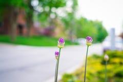 Цветок сирени на стороне дороги Стоковые Фото