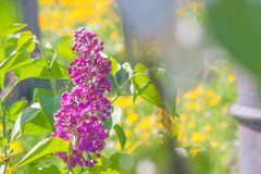 Цветок сирени покрытый с тополем вниз стоковое изображение