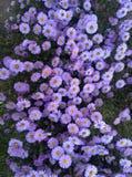 цветок сирени, Стоковое фото RF