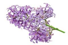 Цветок сирени стоковое изображение rf