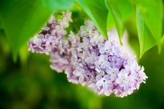Цветок сирени Стоковое фото RF