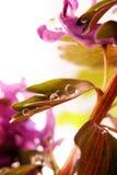 Цветок сирени Стоковые Фото