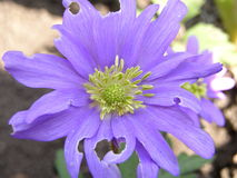 Цветок сирени Стоковое Фото