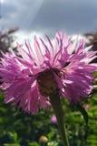 Цветок сирени Стоковая Фотография RF