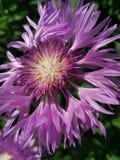 Цветок сирени Стоковые Изображения RF