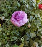 Цветок сирени blossoming весной стоковое фото rf