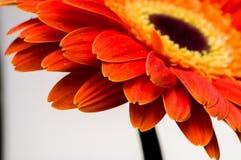 Цветок собрания маргаритки gerber Стоковые Фото