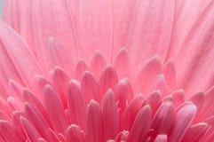 Цветок собрания маргаритки gerber Стоковое Изображение