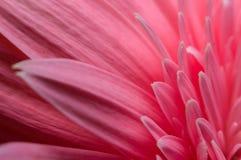 Цветок собрания маргаритки gerber Стоковые Изображения RF